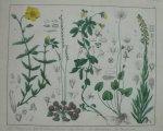 antique print (prent). - Zonnekruid, driekleurig viooltje, wouw, zonnedauw, parnassia.