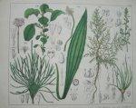 antique print (prent). - Melkkruid, engels gras, oeverkruid, smalle weegbree, witte mayer, zee schoberia.
