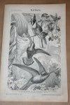 - Antieke prent - Vogels Kolibrie  - Circa 1875