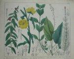 antique print (prent). - Zachtharige bastaardwederik, teunisbloem, moeras epilobium, circaea, mythiophyllum.