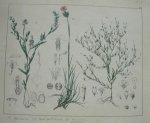 antique print (prent). - Kruisbloem, muur gaffelsteng, anjelier.